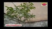 برگ 50 سانتیمتری درخت گردو