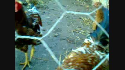 مرغ هایم