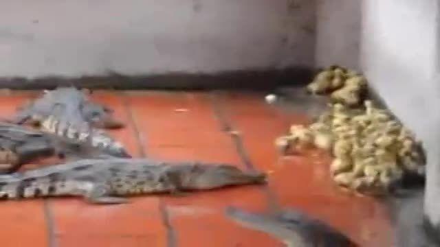 جوجه اردکهای بیچاره وسط لشکر تمساحها