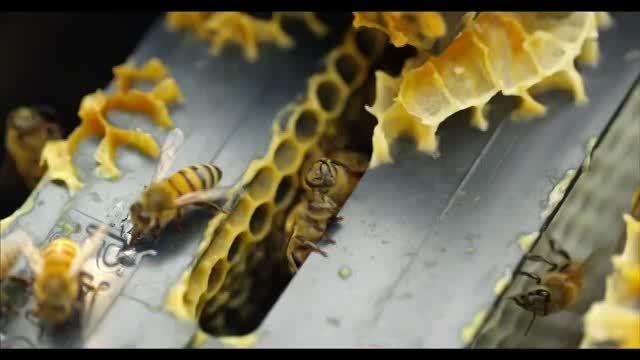 تصاویر بی نظیر از زنبور عسل !!