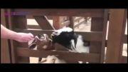 حیواناتی با صداهای عجیب