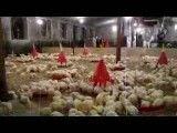 مرغداری مرغ گوشتی