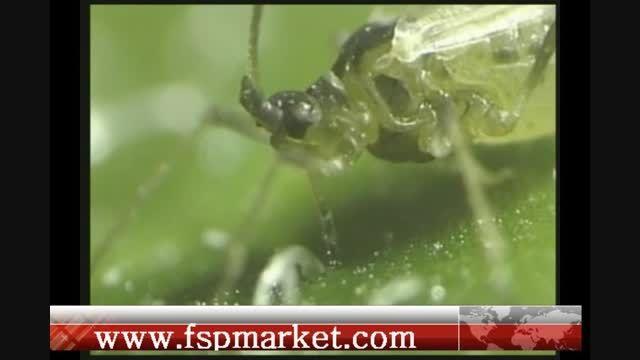 عجیب ترین روش انتقال ویروس گیاهی توسط شته