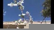 شکوفه دهی پائیزی درخت آلو در کرمان