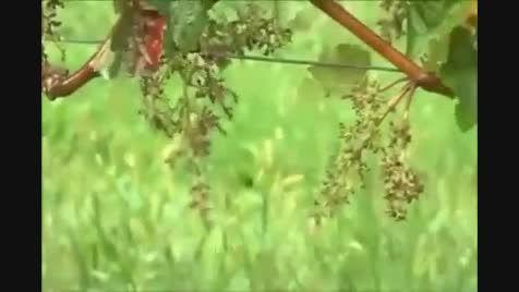 خوشه چینی مدرن در مزارع ... جالب