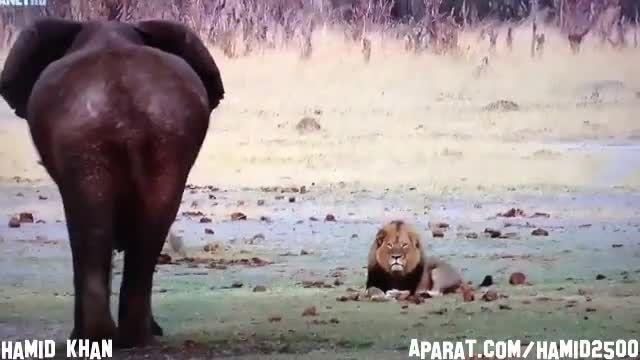 .ایستادگی شیر با عظمت در برابر فیل عظیم الجثه.