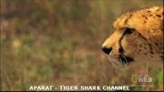سرعت باورنکردنی یوزپلنگ هنگام شکار (دیدنی)