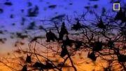 غول پیکرترین خفاش های جهان