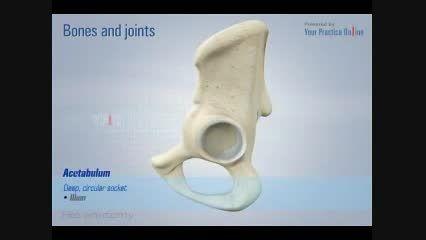 آناتومی مفصل هیپ- مفصل ران- عضلات پا