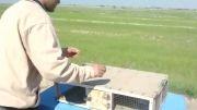 شکار کبوتر و حفاظت از محیط زیست آقای شاهرخ گرگ زاده