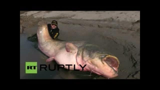 با بزرگترین ماهی خوراکی جهان آشنا شوید
