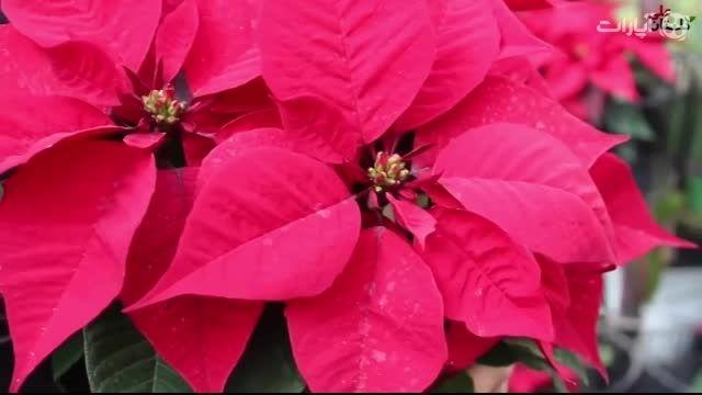 آشنایی و راهنمای نگهداری از گیاه بنت قنسول (گل کریسمس)،