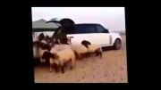 تبدیل خودروی نیم میلیارد تومانی به آغل گوسفندان