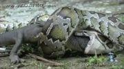 مار پیتون تمساح را بلعید