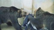 جین باغ وحشی! مدی که شیرها و ببرها خالق آن هستند