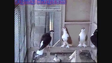 کبوتران زیبای تزیینی