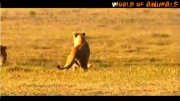 مهر مادری شـیـر ...محافظت از فرزندش در برابر 2 شیر نر !