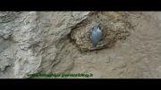 پرندگان وحشی اصفهان - کمرکولی - قسمت اول