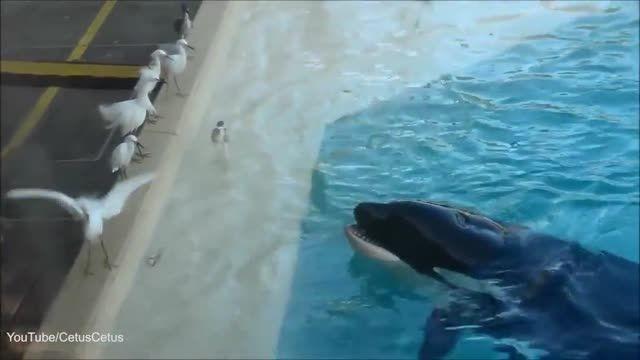 حقه باورنکردنی نهنگ قاتل برای شکار پرندگان