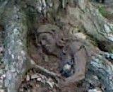 ریشه یك درخت به شكل یك زن