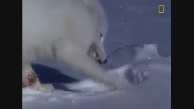 صحنه هایی كوتاه ولی زیبا از خرس قطبی و روباه قطبی