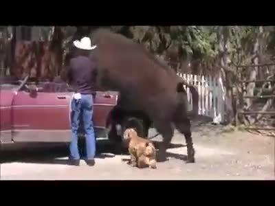 حیوانات خانگی یک گاوچران - حتما ببینید