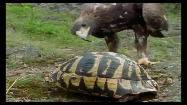 Image result for عقاب و لاک پشت