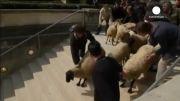 گوسفند چرانی در موزه لوور پاریس