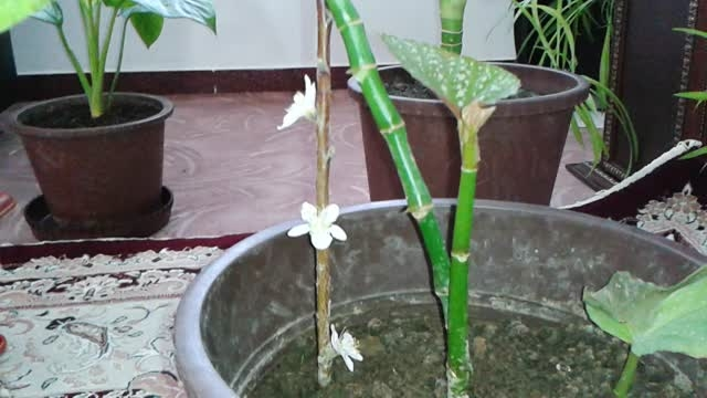 گل دهی شاخه هرس شده داخل گلدان در جعفرآباد