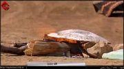 کلانه - خوراکی محلی در کردستان
