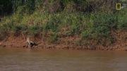 صحنه نادر شکار تمساح توسط پلنگ