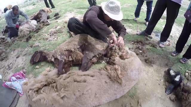 چیدن پشم گوسفندان