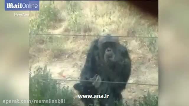 کلیپ مستند وبشدت خنده دار سیگارکشیدن یک شامپانزه سیگاری