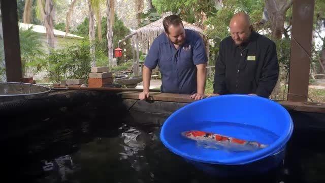 ماهی کوی ژاپنی 06000 دلاری