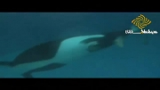 زایمان نهنگ قاتل
