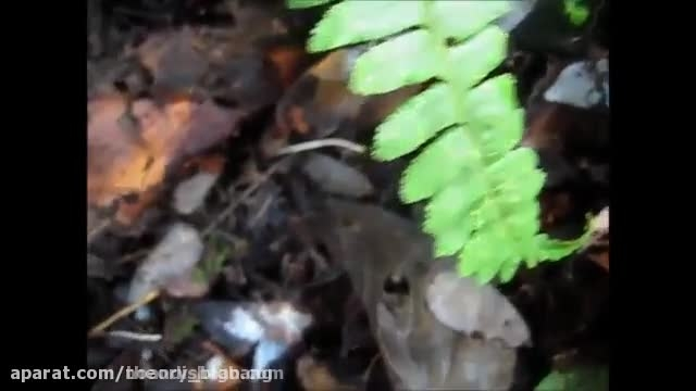 رفتار عجیب مورچه در مواجهه با خطر