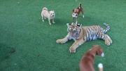 نبرد ببر و سگها ( نبرد مشقی )
