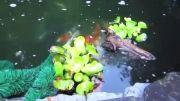 تخمریزی کوی در حوضچه به روش طبیعی