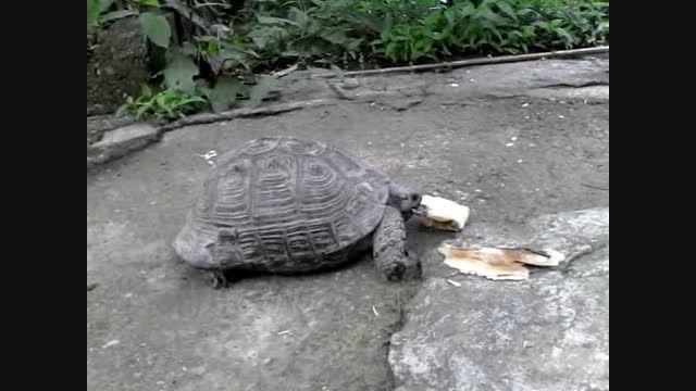 غذا خوردن لاک پشت غول پیکر من