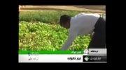 خیار 35 کیلویی در کرمانشاه