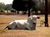 زایمان طبیعی گاو