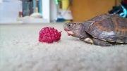 غذا خوردن بچه لاک پشت