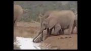 بنی فیل ها اعضای یکدیگرند