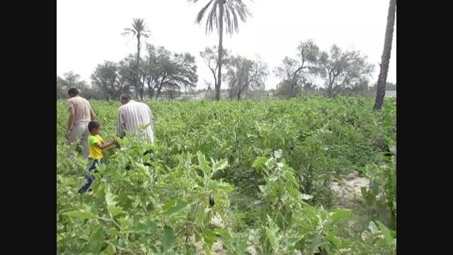 برداشت محصولات کشاورزی  توسط کشاورزان روستای گورزانگ