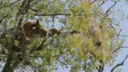 تلاش پلنگ برای شکار بچه میمون
