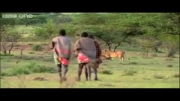 مبارزه سه مرد برای سرقت شکار گله شیرهای گرسنه!
