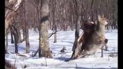 شکار گوزن توسط عقاب قهوه ای در روسیه