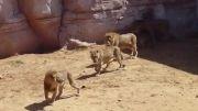 شیر سلطان دروغین جنگل