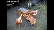اختراع جالب برای مرغ ها