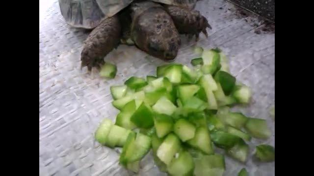غذا خوردن با نمک لاک پشت